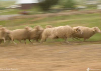 Why The Sheep Flee!